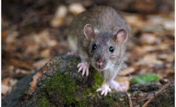Ci sono topi alle Maldive