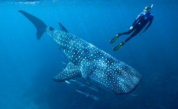 Lo squalo balena alle Maldive (2)