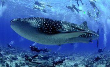 Lo squalo balena alle Maldive (3)