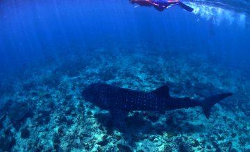 Lo squalo balena alle Maldive