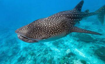 Lo squalo balena alle Maldive (4)