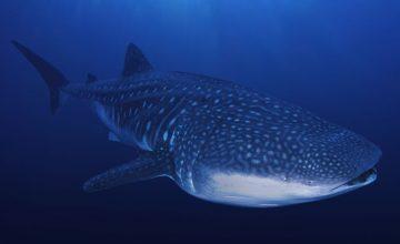 Lo squalo balena alle Maldive (5)